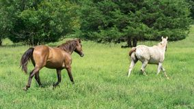 Two Horses Running In a Green Meadow royalty free stock photos
