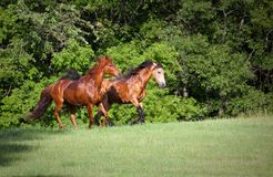 Two horses running on hill Stock Photo
