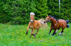 Two horses running on meadow Stock Photo