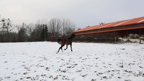 Two horses are running on the meadow. In winter stock video footage