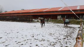 Horses are running on the meadow. Two horses are running on the meadow in winter stock footage