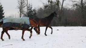 Two horses are running on the meadow. In winter stock video