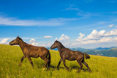 Two horses running on the mountain Stock Images