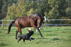 Two horses running on pasturage Stock Image