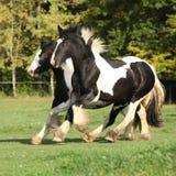 Two horses running on pasturage Stock Photo