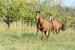 Two horses running on pasturage in autumn royalty free stock images