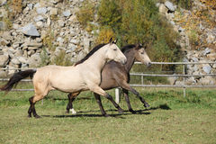 Two horses running on pasturage Stock Photo