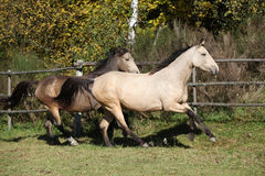 Two horses running on pasturage Royalty Free Stock Photos