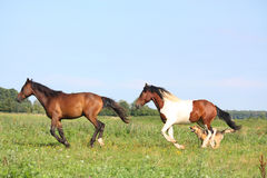 Two horses running at the pasture with dogs. In summer Stock Photos