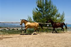 Two horses running on the ranch Royalty Free Stock Photography