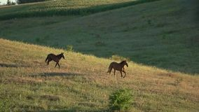 Two horses running in slo-mo. Pair of animals on grassland. Chasing the leader. Become stronger and faster stock footage