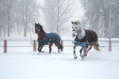 Two horses running on snow misty morning Stock Photos