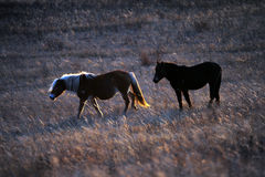 Two horses in the setting sun Stock Photo
