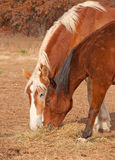 Two horses sharing their hay Stock Image
