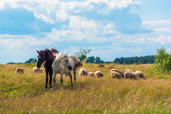 Two horses and sheep grazing on the meadow Royalty Free Stock Photos