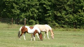 Two horses side by side in pasture Royalty Free Stock Photo