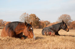 Two horses sleeping in grass Royalty Free Stock Photos