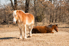 Two horses sleeping in winter pasture Royalty Free Stock Photography