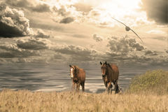 Two horses slowly moving near the sea stock image