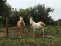 Two Horses In small Pasture Stock Images