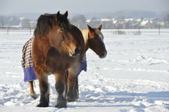 Two Horses in Snow. Taking a sun bath Royalty Free Stock Image