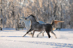 Two horses in the snow Royalty Free Stock Photo
