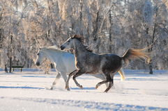 Two horses in the snow Stock Photo