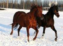 Two horses on snow Stock Photos