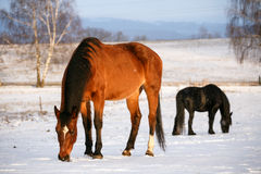 Two horses in snow on a cold winter day. Stock Photos
