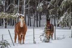 Two horses in a snow covered pasture Royalty Free Stock Images