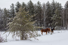 Two horses in a snow covered pasture. By a fence and trees in the background Royalty Free Stock Photography