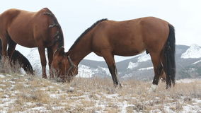 Two horses in snow on pasture stock video