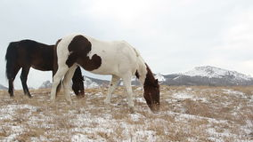 Two horses in snow on pasture stock footage
