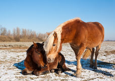 Two horses in a snowy landscape Stock Photography