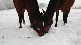 Two horses on the snowy meadow. In cold winter stock video