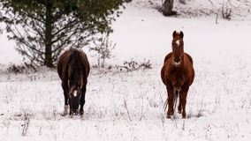 Two horses in a snowy park Stock Photography