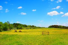 Two horses in the Spring meadow Stock Images
