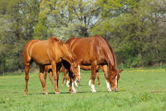 Two horses in spring pasture. Two beautiful horses in spring pasture Stock Images