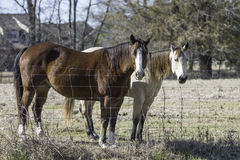 Two horses standing at fenceline. Blood bay and blond bay horses up close standing at the fenceline in February Stock Photos