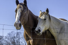Two horses standing by fenceline. Looking up at a brown and white  horse and a white horse with blue sky background in rural Alabama Royalty Free Stock Photo