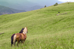 Two horses standing in the field and mountains and look forward Stock Images