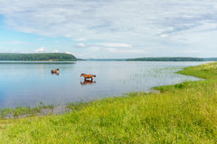 Two horses standing in the lake water Stock Images