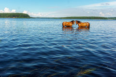 Two horses standing in the lake water Royalty Free Stock Photo