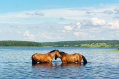 Two horses standing in the lake water Stock Photography