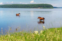 Two horses standing in the lake water Royalty Free Stock Images
