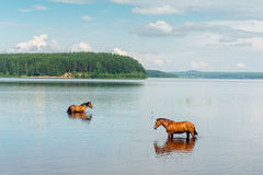 Two horses standing in the lake water Stock Photos
