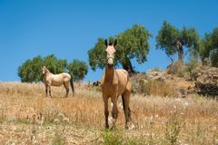 Two horses standing in a meadow in olive tree grove. Andalucia, Andalusia, Spain. Europe. royalty free stock images