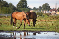 Two horses standing near the water on the pasture Stock Photography