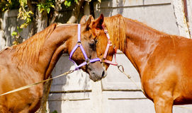 Two horses standing next to each other Stock Photography