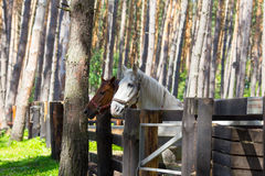 Two horses standing at the paddock Stock Images